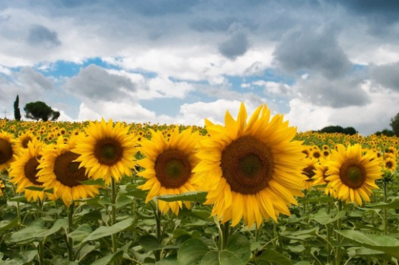 sunflowers-free-license-CC0